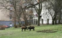 Dzikie zwierzęta na ulicach Trójmiasta. Co...