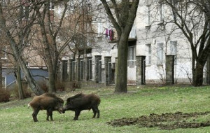 Dzikie zwierzęta na ulicach Trójmiasta. Co z nimi robić?