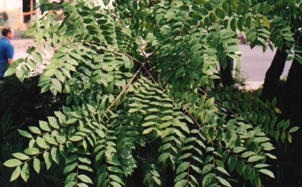 Charakterystyczne liście kłęku kanadyjskiego, drzewa bardzo rzadkiego, uznawanego za ozdobne.