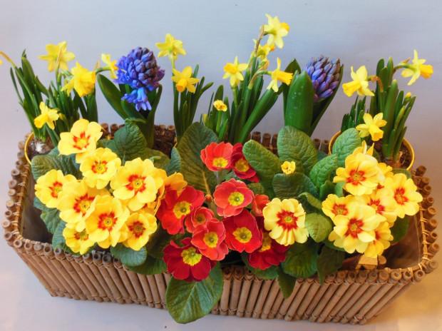 Hiacynty, prymulki, żonkile - ich obecność oznacza wiosnę. W Trójmieście kupić je można w cenie od 2,50 do 8 zł.