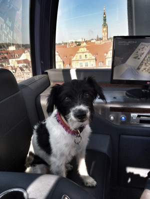 Był pies, który jeździł koleją we Włoszech, a teraz w Gdańsku mamy psa, który jeździ na kole widokowym. To jegomość, którego właścicielem jest Oscar Bruch. Pies podróżował kołem już kilkaset razy i wgląda na to, że przejażdżki mu się nie nudzą.