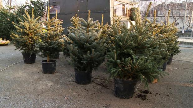 Przez suche lato świerki w tym roku będą gorszej jakości. Leśnicy podpowiadają, na co zwracać uwagę przy zakupie drzewka.