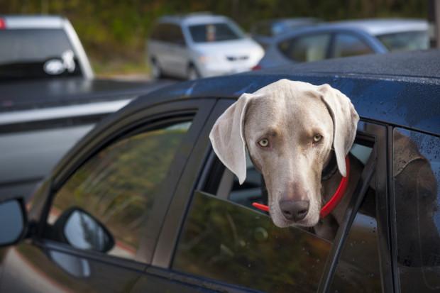 Podczas jazdy pies nie powinien wystawiać głowy przez okno, gdyż w bardzo łatwy sposób może nabawić się infekcji.
