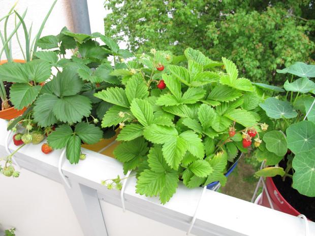 Balkon Zamiast Pelargonii Posadź Pomidory Serwis Dom I