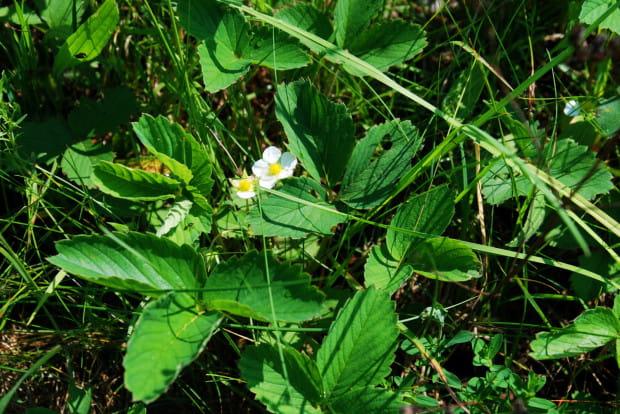 W przyrodzie nic się nie marnuje. Surowcem leczniczym są zarówno owoce jak i kwiaty i liście truskawek.