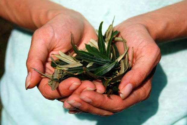 Liście rokitnika to ciekawa alternatywa dla czarnej herbaty. Mogą też pełnić funkcję maseczki. Napar z liści wzmacnia, rozgrzewa, działa bakteriobójczo, wspomaga leczenie infekcji i przeziębień.