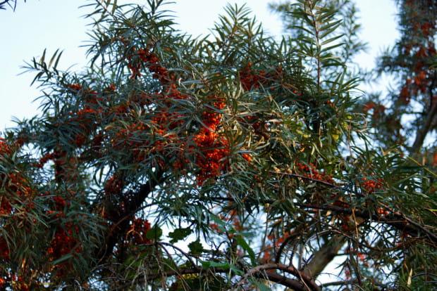 Rokitnik zazwyczaj osiąga wysokość około 2 metrów, jednak starsze okazy mogą dochodzić nawet do 6 metrów i być wielkości małych drzew.
