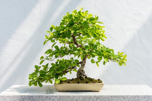 Bonsai, czyli wywodząca się z Chin sztuka formowania miniaturowych drzewek