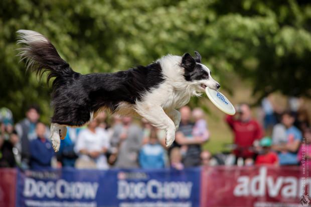 W sobotę i niedzielę w Orłowie będzie można zobaczyć zawody dogfrisbee i inne konkurencje z udziałem naszych czworonożnych przyjaciół.