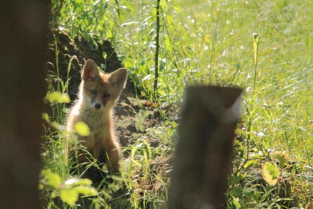 Lisy to sprytne zwierzęta, które radzą sobie zarówno w lesie, jak i w mieście.