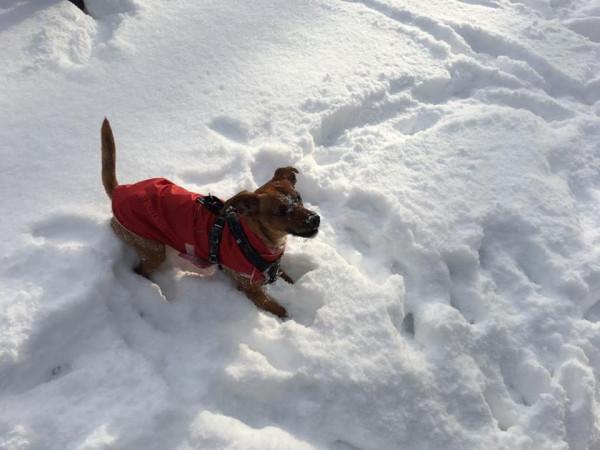 Heniek jest jednym z tych psów mieszkających w Gdańsku, które posiadają zarejestrowane czipy.
