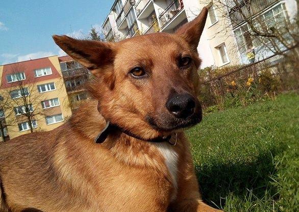 Dwuletni Arczi zaginął w grudniu 2017 r. Wilczurowaty, smukły pies ma czarną obrożę z adresatką. Jest bardzo płochliwy, dlatego złapać go mogą jedynie właściciele, którzy proszą o kontakt w przypadku spotkania ich psa: 503 896 845.