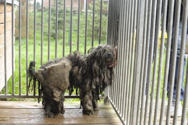 Pracownicy schroniska byli zszokowani widokiem, który zastali. Taki stan sierści psa wskazuje na długotrwały brak pielęgnacji.