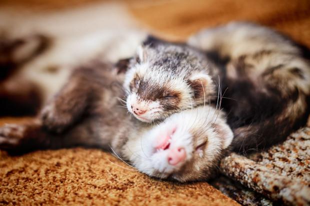 Pomimo słodkiego pyszczka fretki to bardzo charakterne zwierzaki.