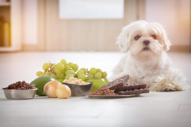 Właściciele psów mają coraz większą świadomość na temat szkodliwości  czekolady. Należy bardzo uważać, aby nie zostawić tabliczki w zasięgu zwierzaka.