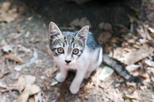 Szczególnie chętne do ucieczki z domu będą koty młode, odważne oraz niekastrowane kocury.