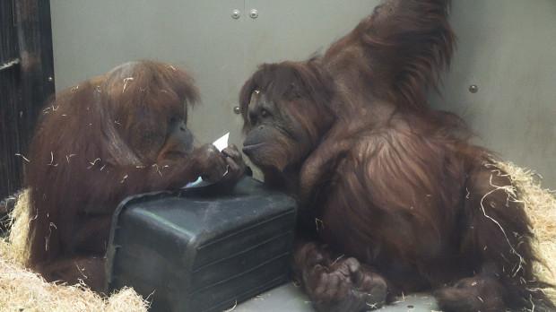 W ten weekend odbędzie się święto orangutanów w gdańskim zoo.