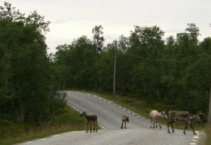 Renifery przemieszczają się stadami, nie boją się nawet ruchu drogowego