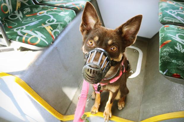 Pies w środkach komunikacji miejskiej musi mieć założony kaganiec oraz być trzymany na smyczy.