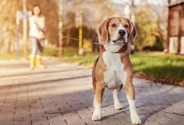 Właściciel psa ponosi za niego zawsze odpowiedzialność, nawet w przypadku kiedy zwierzę zabłądzi lub mu ucieknie.