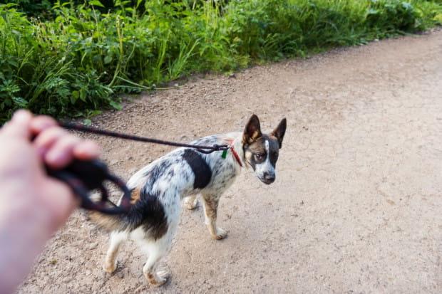 Pies jest zdany na opiekę właściciela, dlatego tak ważna jest odpowiednia opieka i kontrola nad psem.