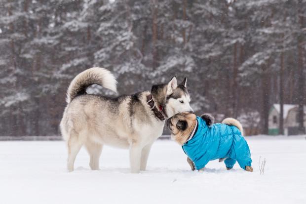 Nie wszystkie psy dobrze znoszą zimno - niektóre potrzebują wsparcia.