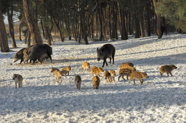 Nie ma jednomyślności, co do wielkości populacji dzików w Polsce. Różne szacunki mówią, że jest ich od 200 do nawet 500 tys. sztuk. Nz. dziki w lesie na Stogach.