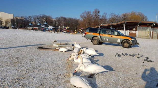 W Gdyni łabędzie mogą korzystać z ustawionych na plaży karmników.