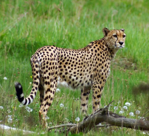 Wraz z budową nowej restauracji, powiększony ma zostać także wybieg dla gepardów. Gdański Ogród Zoologiczny szuka chętnych do współpracy przy rozbudowie obiektów gastronomicznych na terenie zoo.