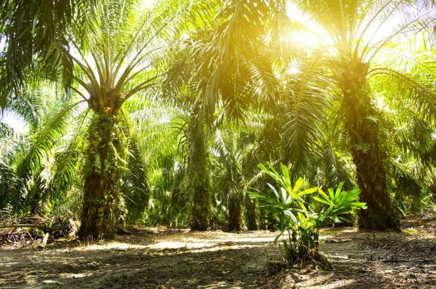 Produkcja oleju palmowego niszczy lasy tropikalne. Lasy te masowo wycina się pod uprawę palmy oleistej, przez co degradowane są naturalne miejsca bytowania wielu zwierząt.