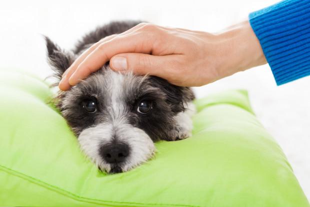 Pies ukąszony przez żmiję musi szybko trafić do weterynarza.