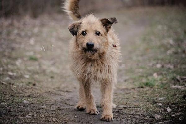 Alf to około 15-letni starszy psiak, który szuka kogoś, kto zaopiekuje się nim na jesień życia.
