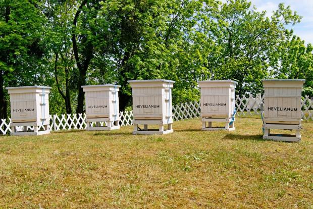 Łącznie w ulach na skarpie przy Hevelianum zamieszkało pięć pszczelich rodzin.