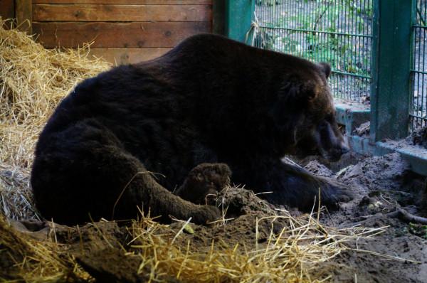 Cytra do zoo trafiła po wieloletnim pobycie w Zakładzie Widowisk Cyrkowych w Julinku.