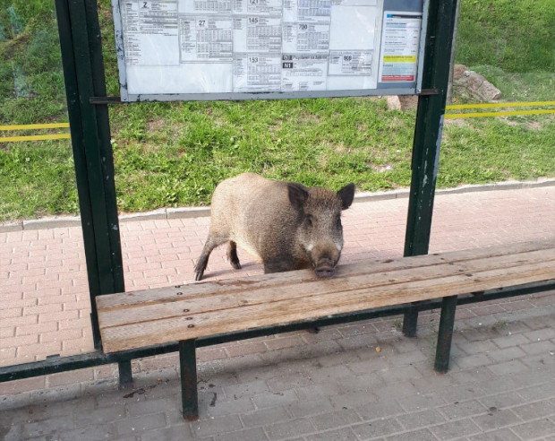Dziki nierzadko widywane są nawet w centrum miasta. Ten odwiedził 15 lipca przystanek autobusowy na Karwinach.
