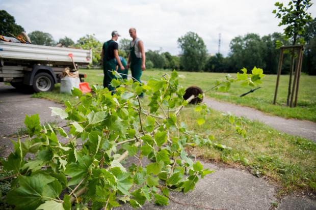 Drzewa, w ramach inicjatywy Gaj Ojców, sadzone są w Gdańsku od 2012 roku