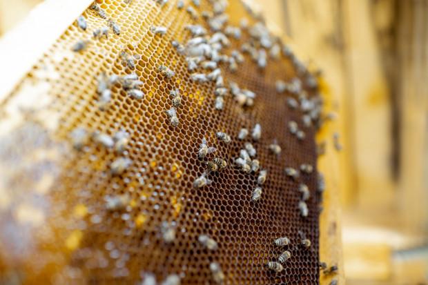 Pszczoła miodna jest jednym z głównych owadów, które zapylają ponad połowę wszystkich roślin używanych w przemyśle spożywczym.