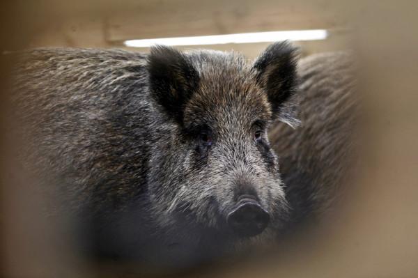 Afrykański pomór świń - znany również pod skrótem ASF (ang. african swine fever) - nie zagraża ludziom. Natomiast w przypadku świń domowych, świniodzików i dzików śmiertelność sięga nawet 100 proc. zakażonych osobników w stadzie.