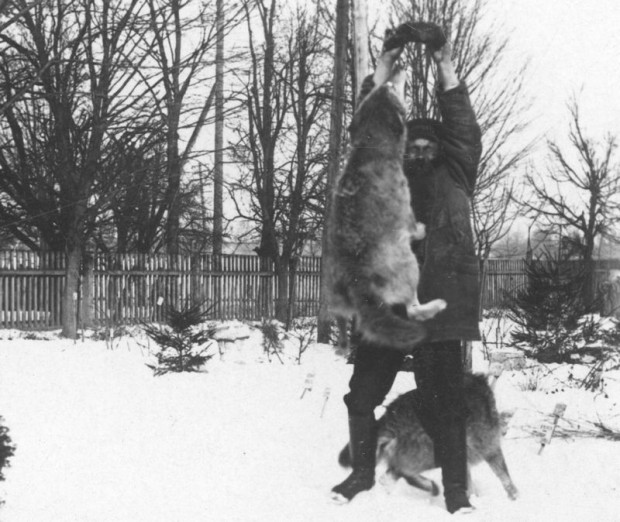 Mężczyzna karmiący wilki. Zdjęcie z lat 20. XX wieku.
