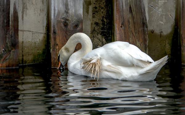 U dorosłych ptaków anielskie skrzydło jest schorzeniem nieuleczalnym.